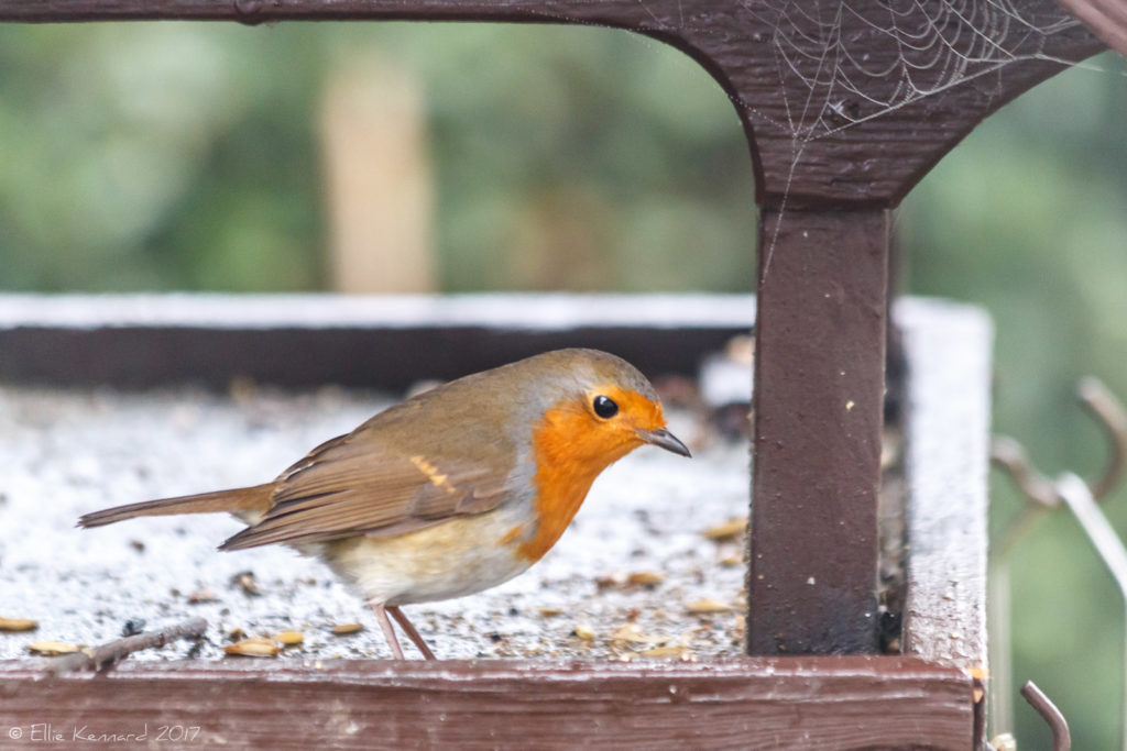 Robin on feeder with cobweb - Ellie Kennard 2016