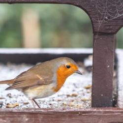 Robin on feeder - Ellie Kennard 2016