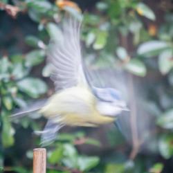 Bluetit in motion - Ellie Kennard 2016