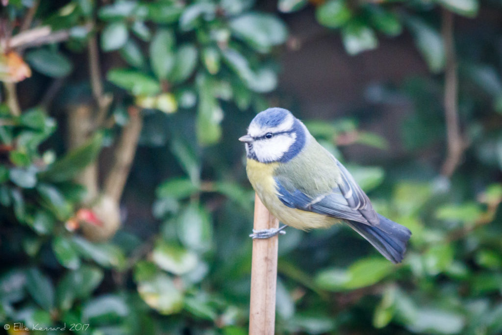 Bluetit - Ellie Kennard 2016