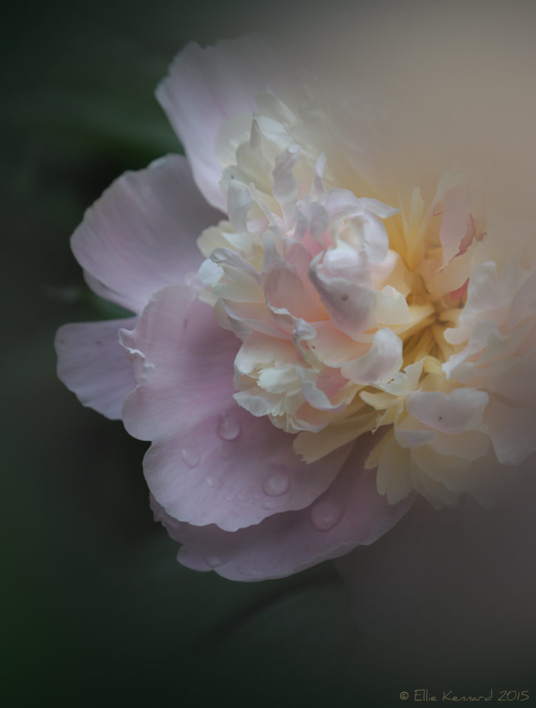 A peony photographed through a plastic bag with a hole cut in it - Ellie Kennard 2015
