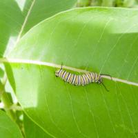 Monarch butterfly caterpillar - Ellie Kennard 2018