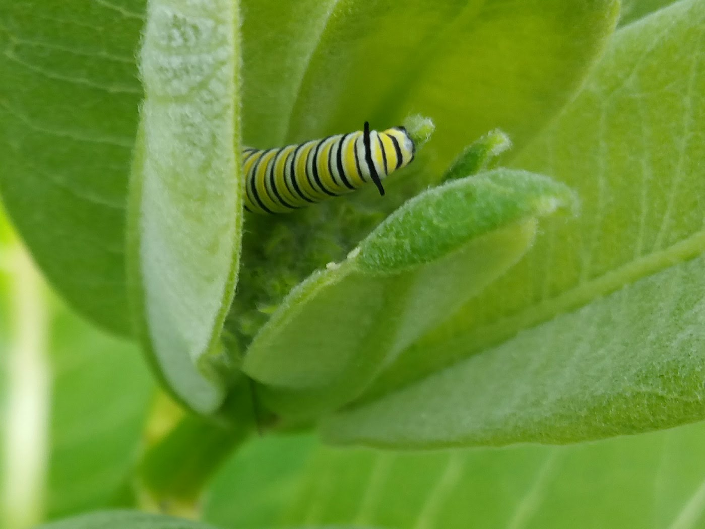 Monarch butterfly caterpillar - Ellie Kennard 2017