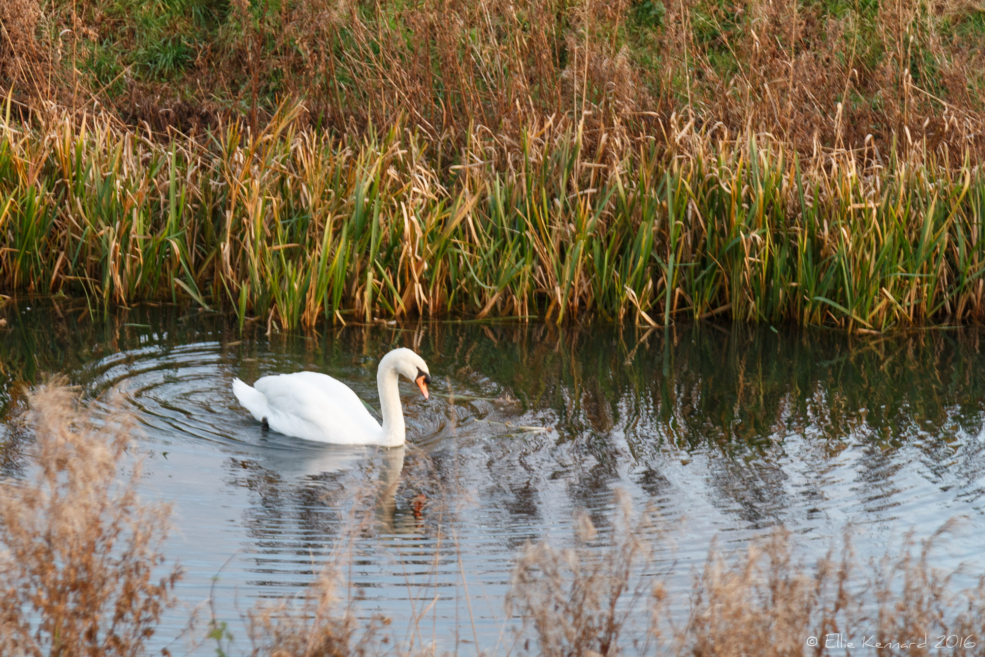 Swan by the river Witham, Lincs - Ellie Kennard 2016