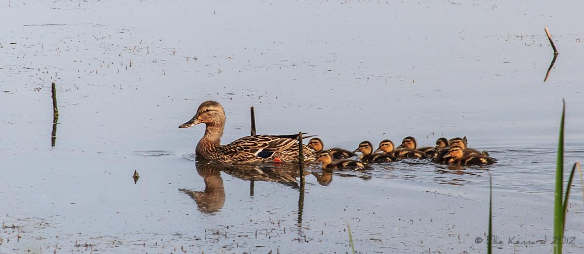 Ducks in a Row - Ellie Kennard 2012