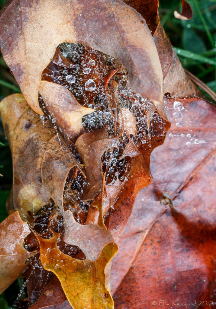 Drops in Webs on Leaves - Ellie Kennard 2012
