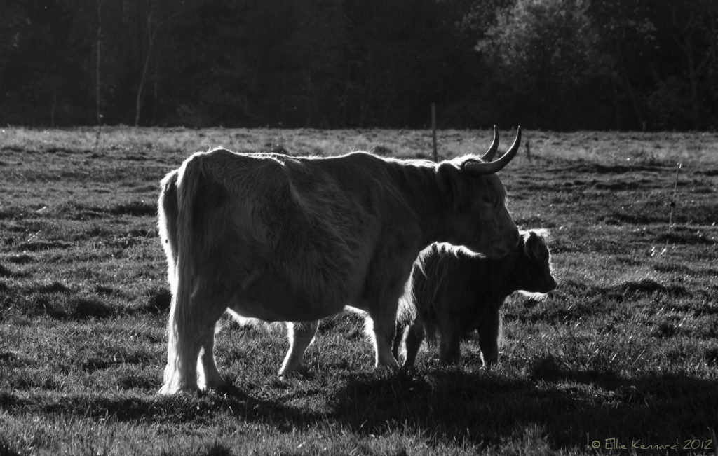Highland Cattle - Ellie Kennard 2012
