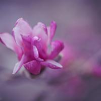 Mini Pink Magnolia
