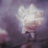 Cream Magnolia