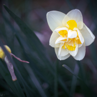 White and Yellow Narcissus