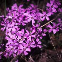 Pink Moss Phlox